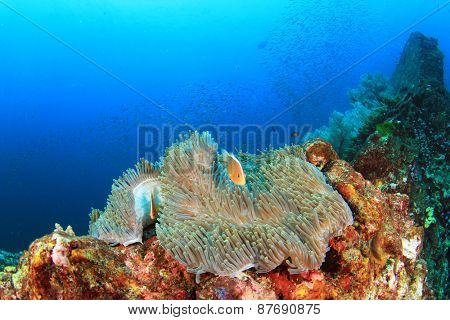 Anemone and Clownfish on coral reef