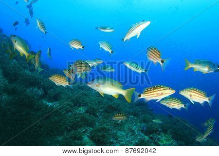 Fish hunting (Chequered Snappers)