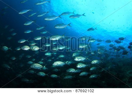 School Jack fish