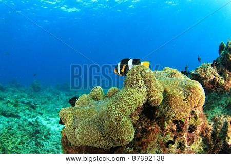 Coral reef with anemone and clownfish