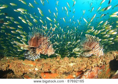 Lionfish and Snapper fish on shipwreck