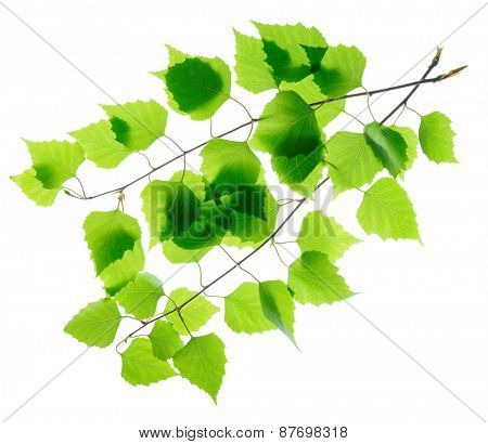 Birch twigs with green leaves isolated