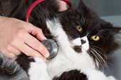 pic of auscultation  - Auscultation beautiful Persian cat veterinary a clinic - JPG