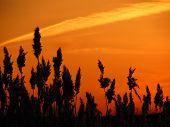 image of bulrushes  - The bulrushes against sunlight over sky background in sunset - JPG
