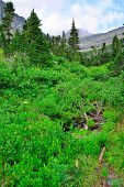 image of conifers  - wild alpine flowers and conifer forest in front of the mountains of the glacier national park in summer - JPG
