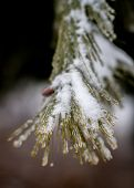 stock photo of cenote  - Frost on Pine tree needeles shallow depth of field