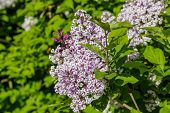 stock photo of lilac bush  - Lilac bush with pale purple flowers against the green foliage - JPG