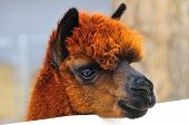 picture of alpaca  - Head shot of brown alpaca on country ranch - JPG