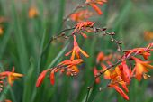image of crocosmia  - Close up of an orange Crocosmia in bloom - JPG