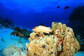 stock photo of grouper  - Blacktip Grouper fish on reef - JPG