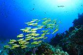 pic of red snapper  - Yellow Snapper fish - JPG
