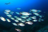 pic of bigeye  - Fish school Bigeyes - JPG