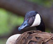 stock photo of canada goose  - Canada Goose profile close - JPG