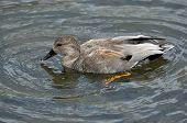 foto of gadwall  - Male Gawall Duck Drake swimming on lake - JPG