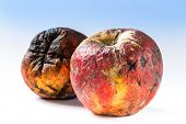 pic of rotten  - Old rotten apple covered with mold bad storage - JPG