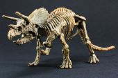 picture of darwin  - Triceratops fossil dinosaur skeleton model toy on black background - JPG