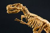 stock photo of darwin  - dinosaur Tyrannosaurus T Rex statuette skeleton on black background t - JPG