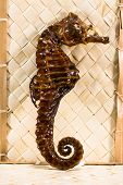 picture of embalming  - real brown stuffed sea horse - JPG