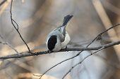 image of chickadee  - Chickadee perched on a tree branch  - JPG