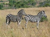 pic of grassland  - grassland scenery including some zebras in South Africa - JPG