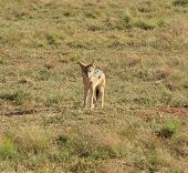 stock photo of jackal  - a jackal on grassy ground in South africa
