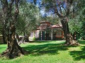 picture of olive trees  - This plantation with hundred years old olive trees is a public garden - JPG