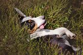 picture of corgi  - funny welsh corgi cardigan dog in the grass - JPG