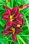 stock photo of stargazer-lilies  - Burgundy lilies flowers in a garden close up - JPG
