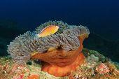 pic of skunk  - Anemone and Skunk Clownfish - JPG