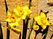 foto of jonquils  - Close up of jonquil flowers against a limestone wall - JPG