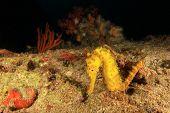 foto of seahorse  - Yellow Tigertail Seahorse - JPG