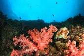 image of cuttlefish  - Coral reef underwater with cuttlefish - JPG