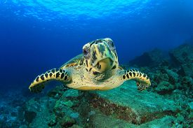 pic of fin  - Hawksbill Sea Turtle underwater on ocean coral reef - JPG
