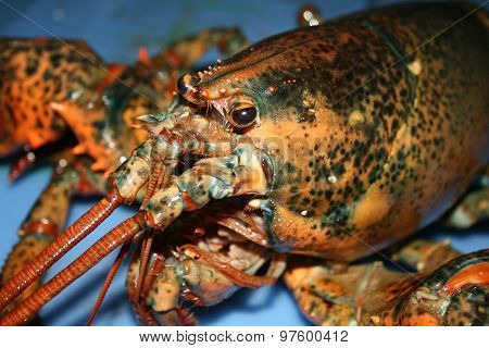 Lobster In Water