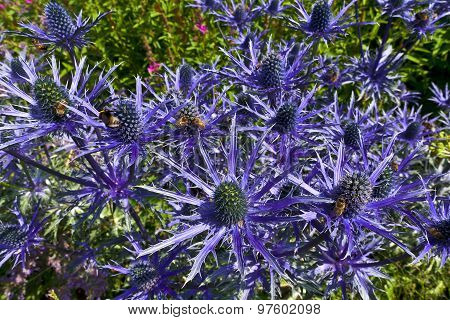 Blue eryngium flowers.
