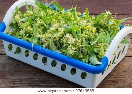 Linden Flowers For Herbal Medicine