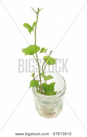 Sweet Potato Germination Technique In A Glass Jar Isolated On White Background