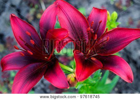 Varietal Bright Crimson Lily