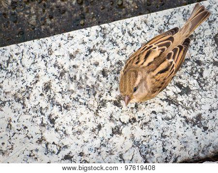 Female Italian Sparrow