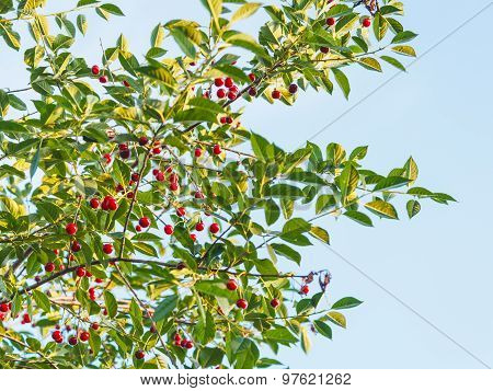Blue Sky And Branch Of Tree With Ripe Red Cherry