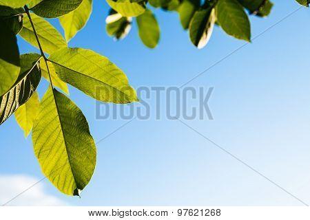 Illuminated Green Leaves Of Walnut Tree