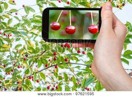 Tourist Takes Picture Of Twigs With Red Cherry