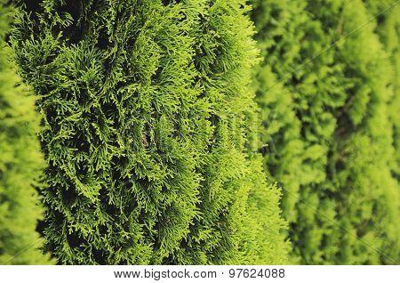 Hedge of Thuja Trees