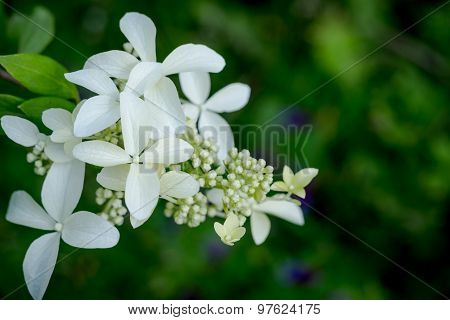 White Hydrangea - The Closed-up White Flower For Decoration