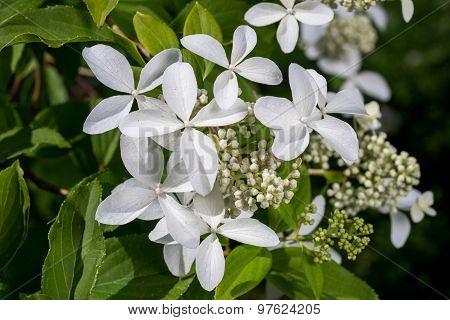 Hortensia Hidrangea - Beautiful Plant With Flowers And Leaves - Details On The Flower. Blossom Of Wh