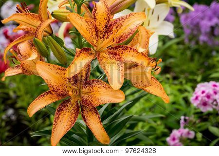 Several Large Orange Lily Flowers On Natural Garden Background