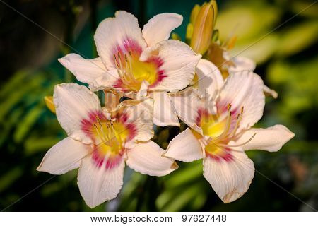 Pink And Yellow Day-lily Blossoms - Hemerocallis