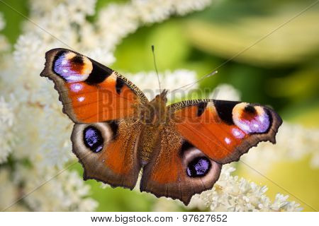 European Peacock Butterfly (inachis Io) On A White Astilba Flower Close Up