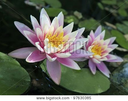 Pink Water Lily (nymphaea)