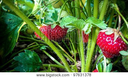 Strawberry Field With Ripe Strawberries As Background